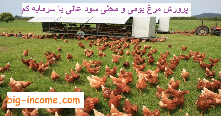 پرورش و نگه داری مرغ بومی و محلی