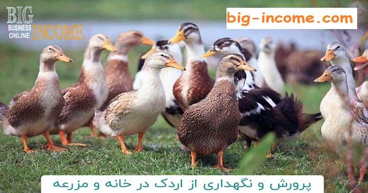 ترفندهای پرورش اردک در خانه