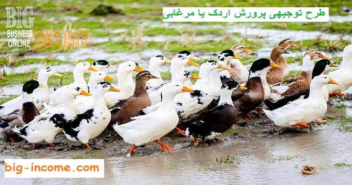 ایده پرورش اردک یا مرغابی